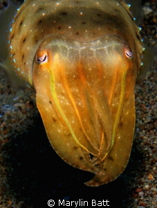 Small Cuttlefish displaying yellow coloration at this time by Marylin Batt 